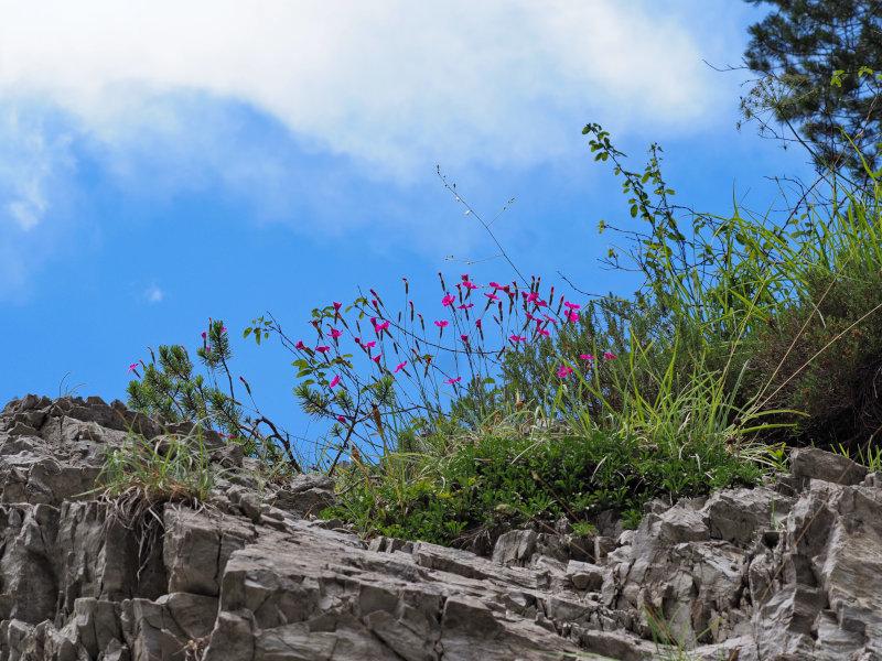 Die Steinnelken im Montafon.